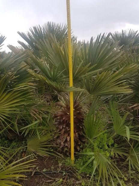 Chamaerops humilis frost-resistant palm
