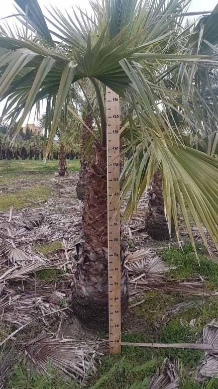 Washingtonia robusta palma mrozoodporna